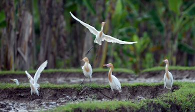 Menikmati Keindahan Alam Pedesaan dan Burung Kuntul Putih di Desa Wisata Ketingan